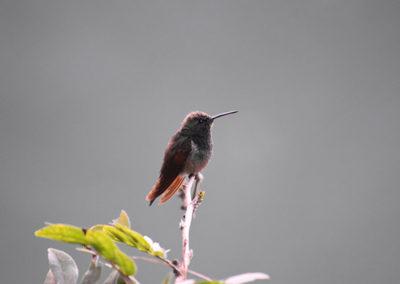 jardin-haraveri_colibri-canelo