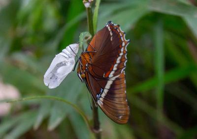 jardin-haraveri_mariposa-adulta-emergiendo
